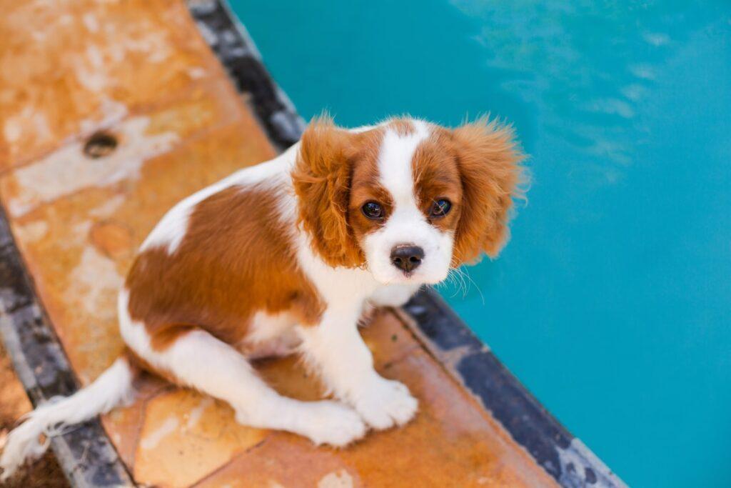 Dejar que tu perro se bañe en la piscina, ¿sí o no?